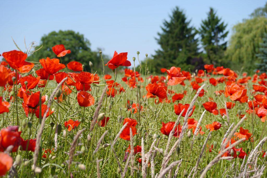 Rote Mohnblumen vor einem Feld, im Hintergrund Bäume.